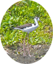 16 Black-necked Stilt