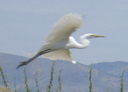 19a Great Egret
