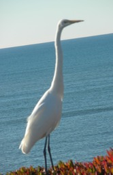19b Great Egret