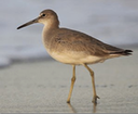 3 Long-billed Dowitcher