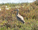 35 Long-billed Curlew