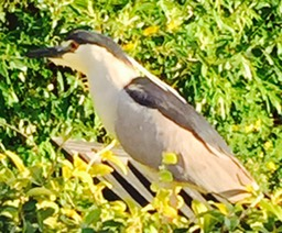 44 Black Crowned Night Heron