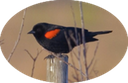 6 Red-winged Blackbird